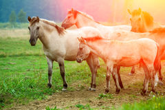 Herd of wild horses. On the meadow at sunset Stock Photos
