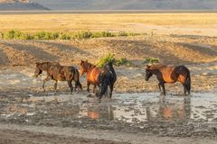 Herd of Wild Horses at a Pond. A herd of wild horses at a muddy pond in the Utah desert Royalty Free Stock Image