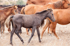 Herd of Wild Horses Royalty Free Stock Photography
