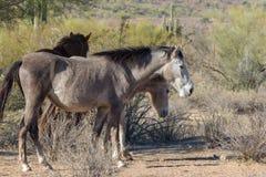 Herd of Wild Horses in the Desert. A herd of wild horses near the Salt River in the Arizona desert Royalty Free Stock Photography