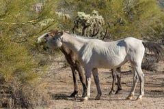 Wild Horses in the Arizona Desert. A herd of wild horses near the Salt River in the Arizona desert Stock Photo