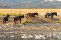 Wild Horses by a Waterhole. A herd of wild horses next to a pond in the Utah desert in summer Royalty Free Stock Photo
