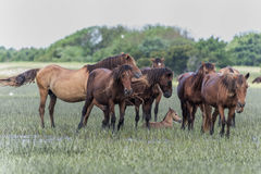 Herd of wild horses in outerbanks of North Carolina Royalty Free Stock Photo