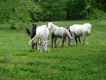 Herd of wild horses in plush green field  Stock Photography