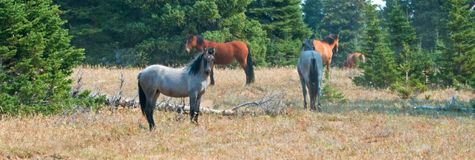 Herd of wild horses in the Pryor Mountains Wild Horse Range in Montana USA Royalty Free Stock Photography