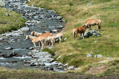 Herd of wild horses on a riverbank Royalty Free Stock Photos