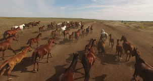 Herd of wild horses running across plains stock footage