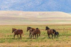 Herd of Wild Horses Running in the Desert. A herd of wild horses kicking up dust running in the Utah desert Stock Photos