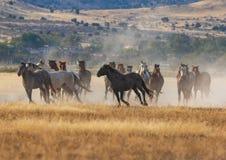 Herd of Wild Horses Running in the Desert. A herd of wild horses kicking up dust running in the Utah desert Royalty Free Stock Image