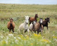 Herd of wild horses running on the field Stock Photo