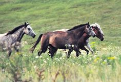 Herd of wild horses running on the field Royalty Free Stock Photography