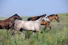 Herd of wild horses running on the field Stock Photography