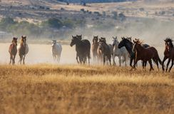 Herd of Wild Horses Running. A herd of wild horses kicking up dust running in the Utah desert Stock Photography