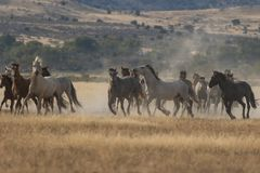 Herd of Wild Horses Running Royalty Free Stock Photography