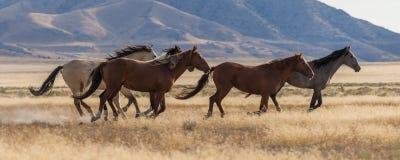 Herd of Wild Horses Running. A herd of wild horses running in the Utah desert Royalty Free Stock Photo