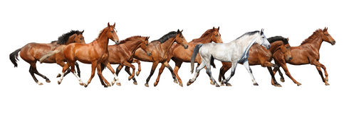 Herd of wild horses running isolated on white Stock Image