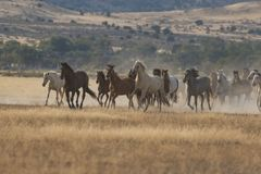 Herd of Wild Horses Running stock photo