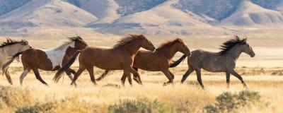 Herd of Wild Horses Running in the Utah Desert. A herd of wild horses running in the Utah desert Royalty Free Stock Images