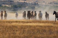 Herd of Wild Horses Running in the Utah Desert. A herd of wild horses kicking up dust running in the Utah desert Stock Photo