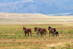 Wild Horses Running in the Desert. A herd of wild horses running in the Utah desert Royalty Free Stock Image