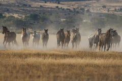 Wild Horses Running in the Utah Desert Royalty Free Stock Image