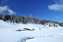 Herd of wild horses in the snow. A herd of wild horses gathered in the snow in front of a backdrop of pine covered mountains Stock Photos