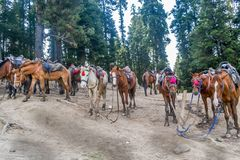 A herd of wild horses standing in the trekking trail of Himalayan valley in Annapurna Circuit Trek, Himalayas, Nepal.  royalty free stock images