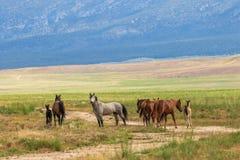 Herd of Wild Horses in Summer. A herd of wild horses in the Utah desert in summer Stock Images