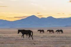 Herd of Wild Horses at Sunset. A herd of beautiful wild horses in the Utah desert Royalty Free Stock Image