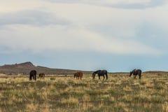 Herd of Wild Horses in the Utah. A herd of beautiful wild horses in the Utah desert Stock Photo