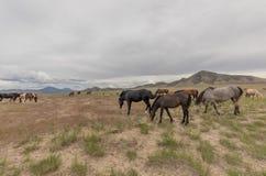 Herd of Wild Horses in Utah. A herd of beautiful wild horses int he Utah desert Stock Photos