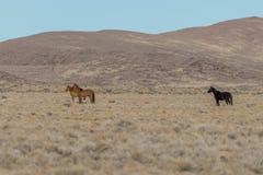 Herd of wild horses. A herd of wild horses in the Utah desert Stock Images