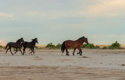 Herd of Wild Horses. A herd of wild horses in the Utah desert Stock Image
