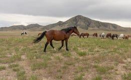 Herd of Wild Horses in the Utah Desert. A herd of beautiful wild horses int he Utah desert Stock Photos