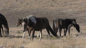 Herd of Wild Horses. A herd of wild horses in the Utah desert stock video