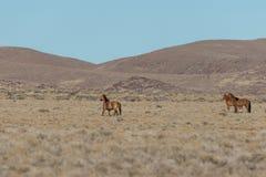 Herd of wild horses in the Desert. A herd of wild horses in the Utah desert Stock Photography