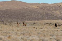 Herd of wild horses in Utah. A herd of wild horses in the Utah desert Stock Photos