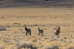 Herd of Wild Horses in the Utah Desert. A herd of wild horses in the Utah desert Royalty Free Stock Images
