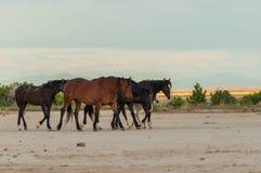 Herd of Wild Horses in the Utah Desert. A herd of wild horses in the Utah desert Stock Photo
