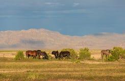 Herd of Wild Horses in the Utah Desert in Summer. A herd of beautiful wild horses in the Utah desert Stock Image