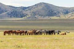 Herd of Wild Horses in the Desert. A herd of wild horses in the Utah desert in summer Royalty Free Stock Image