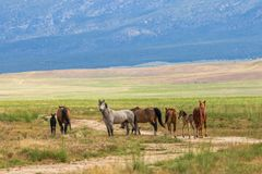 Herd of Wild Horses in the Desert in Summer. A herd of wild horses in the Utah desert in summer Royalty Free Stock Images
