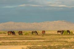 Herd of Wild Horses in the Utah Desert in Summer. A herd of wild horses in the Utah desert in summer Royalty Free Stock Photos