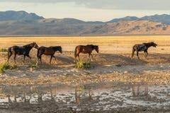 Wild Horses in the Desert in Summer. A herd of wild horses in the Utah desert in summer Royalty Free Stock Photography