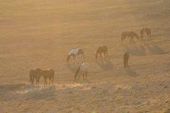 Wild Horses Grazing at Sunrise Stock Images