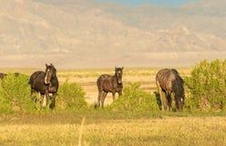 Herd of Wild Horses in Utah in Summer. A herd of wild horses in the Utah desert in summer Stock Image