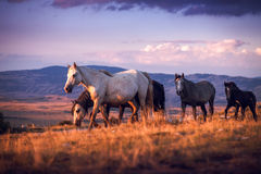 A herd of wild horses walk on the mountain Royalty Free Stock Photos