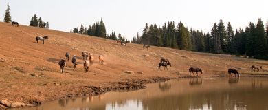 Herd of wild horses at waterhole in the early morning in the Pryor Mountains Wild Horse Range in Montana USA Stock Photography