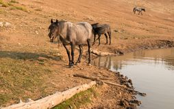 Herd of wild horses at waterhole in the early morning in the Pryor Mountains Wild Horse Range in Montana USA Stock Photo