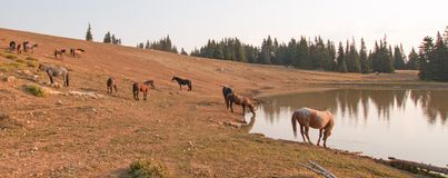Herd of wild horses at waterhole in the early morning in the Pryor Mountains Wild Horse Range in Montana USA Royalty Free Stock Image